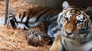 Drie zeldzame Siberische tijgers geboren in Beekse Bergen
